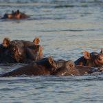 hippos okavango