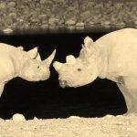 rhinos etosha