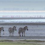 zebras by lake