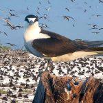 Sooty-Terns-Beach-Colony