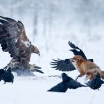 Golden eagle Red fox