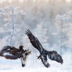 Golden eagles fight