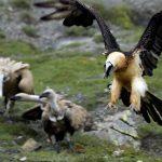 bearded vulture _Jose Carlos Gonzalez_01