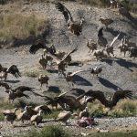 spain-pyrenees-bearded-vulture-gryphon-hide-fcq-ainsa-pura-aventura