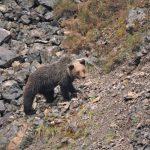 spain-asturias-somiedo-brown-bear-cub-wild-watching-spain