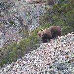 spain-asturias-somiedo-brown-bear-wild-watching