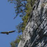 spain-griffon-vulture