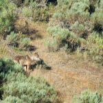 spain-leon-wolf-wild-watching (1)